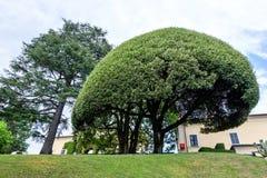 Big round tree in Villa del Balbianello. Green garden. Lenno, Italy stock image