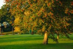 Big rowan tree and ripe berries. At golden sunset light Stock Photos