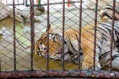 Big royal tiger lonely sleep Stock Photos