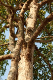 Big rubber tree with green leaves Royalty Free Stock Image