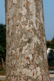 Big rubber tree trunk Royalty Free Stock Photo