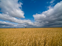 Big rye field. Landscape with cornfield under dramatic leaden sky. Wide angle shot Royalty Free Stock Photography