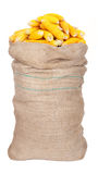 Big sack of corn cobs Royalty Free Stock Photography