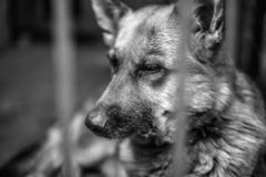 A big sad shepherd in an old aviary. Monochrome photo royalty free stock photography