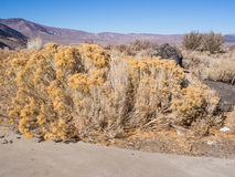 Big Sagebrush Stock Photo