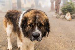 A portrate of the Big saint bernard dog. Royalty Free Stock Photos