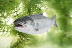 Big salmon Stock Photo