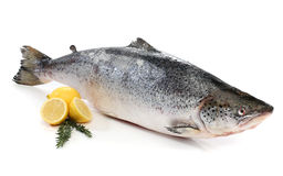 Big salmon fish isolated Stock Images