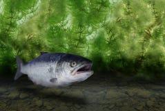 Big salmon Stock Photography