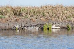 Big salty. Big saltwater crocodile in autralian outback Stock Photo