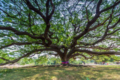 Big samanea samantree Royalty Free Stock Photo