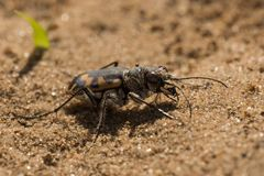 Big Sand Tiger Beetle Royalty Free Stock Image