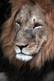 A big scar face male lion Stock Images