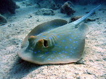 Big scat fish. Scat in red sea, underwater life Royalty Free Stock Photo