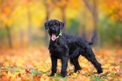Big schnauzer dog standing in autumn park. Giant Schnauzer standing in yellow and orane fall leaves stock images