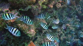 The big school of the Indo.Pacific sergeant (Abudefduf vaigiensis) in the middle of the beautiful blue water stock video footage