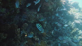 The big school of the Indo.Pacific sergeant (Abudefduf vaigiensis) in the middle of the beautiful blue water stock video
