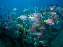 Big school of snappers underwater. Big school of snappers with yellow glittering eyes. Sea of Cortez Mexico. Fish abound in this area and fishing is good Royalty Free Stock Images