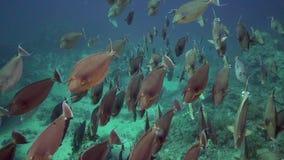 Big schools of Bluespine unicornfish Naso unicornis in Red sea stock footage