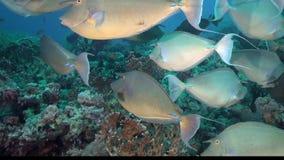 Big schools of Bluespine unicornfish Naso unicornis are in Red sea stock footage