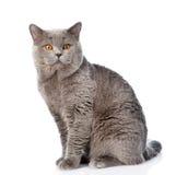 Big scottish cat looking at camera. isolated on white background.  Stock Image