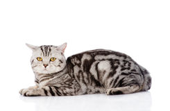 Big Scottish cat looking at camera. isolated on white background Royalty Free Stock Images