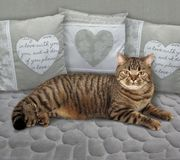 Cat on a gray sofa royalty free stock photography
