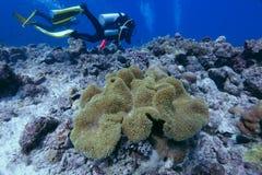 Big sea anemone Royalty Free Stock Photo