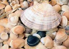 The big sea cockleshel Stock Photo