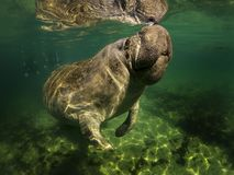 Sea cow or manatee or dugong swim in crystal clear fresh water with clouds on top background and do breath. Big sea cow, second name `Manatee` or `Dugong` slowly stock image