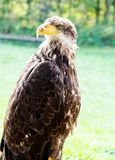 Big Sea Eagle Haliaeetus albicill Royalty Free Stock Images