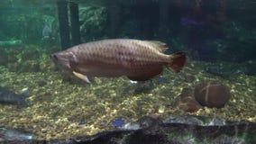 Big sea fish in the aquarium. aquarium with marine life. fish and corals.  stock footage