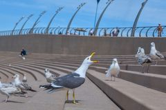A big Sea Gull is angry Stock Photography