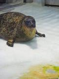 Big sea lion Stock Photography