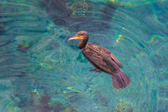 The big sea predator bird. The big brown sea predator bird is gliding on the red sea shallow water Royalty Free Stock Images