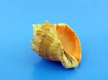 Big sea shell Royalty Free Stock Images