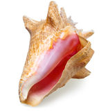 Big sea shell Royalty Free Stock Photo