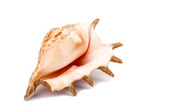 Big sea shell Stock Image