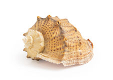 Big sea shell. Isolated on white background Stock Photos