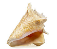 Big sea shell Stock Images