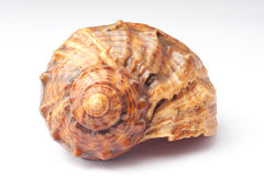 Big sea snail shell. Natural helix fractal or big sea snail shell from top Royalty Free Stock Images