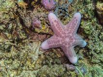 Big sea star Stock Photo