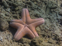 Big sea star upside down Royalty Free Stock Image