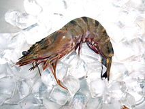 Big Sea Tiger Prawn Ice Stock Photo