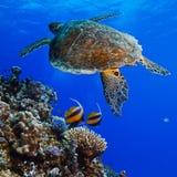 Big sea turle underwater stock image