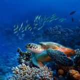 Big sea turle underwater. Red sea diving big sea turtle sitting on colorful coral reef