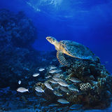 Big sea turle underwater. Red sea diving big sea turtle swimming over coral reef full of fish stock image