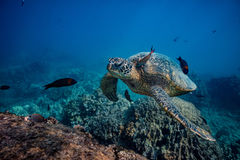 Big sea turtle against water surface bottom view. Sea turtle stopping to swim at clean station. A fish cleaning skin underwater Royalty Free Stock Photo