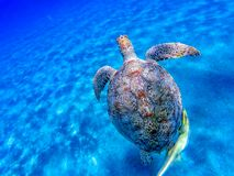 Big sea turtle Eretmochelys imbricata with sticky fish. In the clear waters of the bay of Abu Dabab in Marsa Alam, Egypt royalty free stock photography