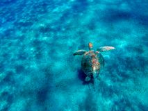 Big sea turtle Eretmochelys imbricata with sticky fish. In the clear waters of the bay of Abu Dabab in Marsa Alam, Egypt royalty free stock photo
